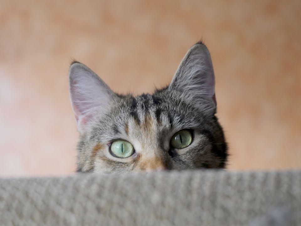 tabby cat ears