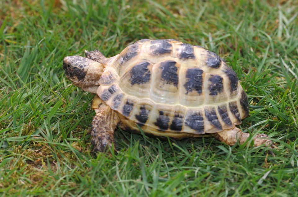 Horsefields tortoise.