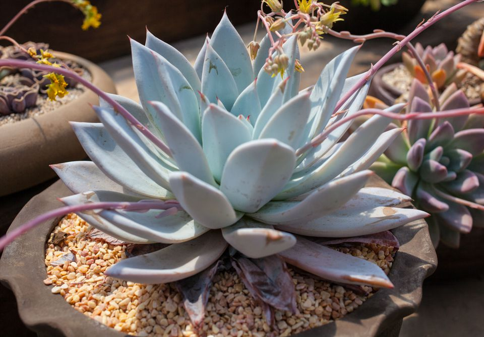 How To Grow Hens And Chicks In Pots