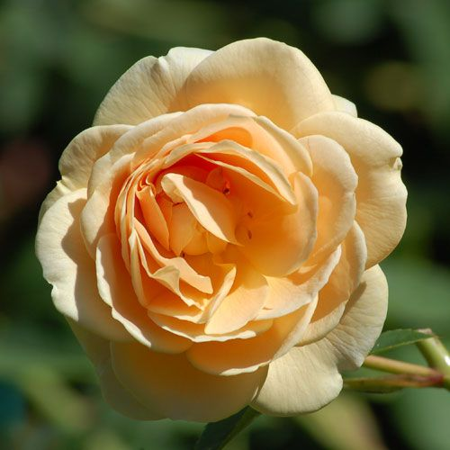 Picture of apricot rose. Teasing Georgia is called a yellow rose but may end up more apricot.