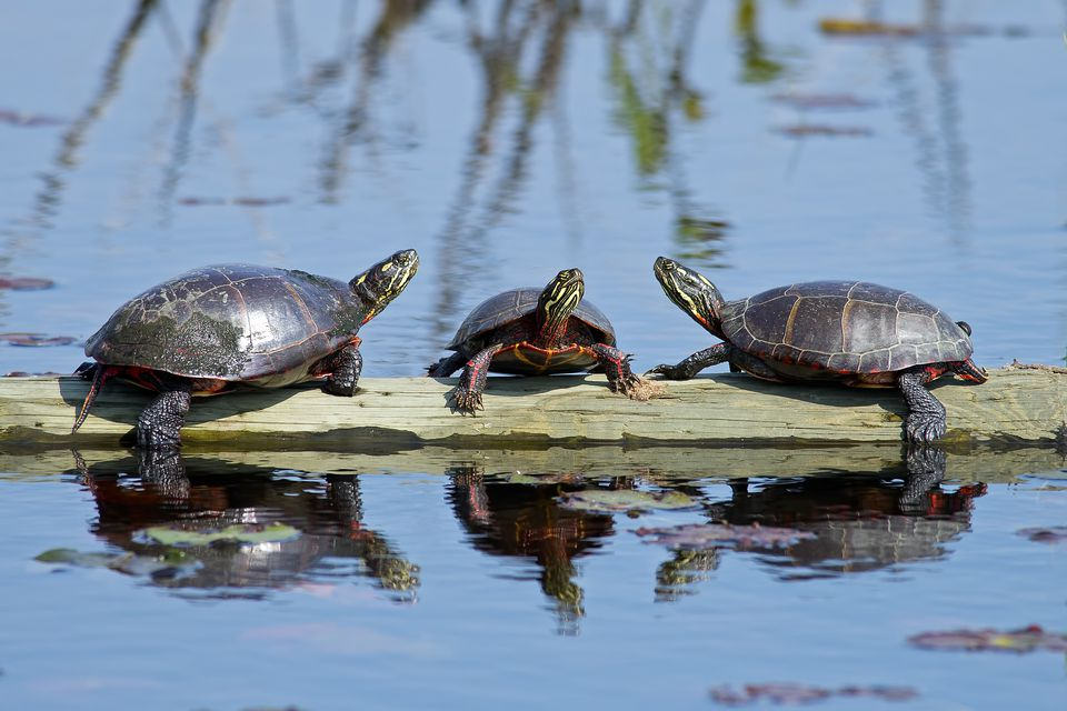 Painted turtles on a log in a pond