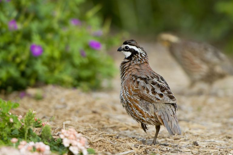 Northern Bobwhites will visit yards when cover and food is available.