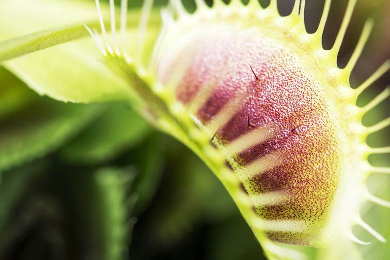 Close-Up Of Venus Flytrap