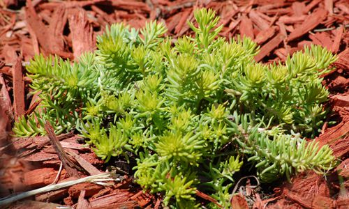 A drought-resistant ground cover, Angelina sedum has chartreuse-colored needle-like leaves.