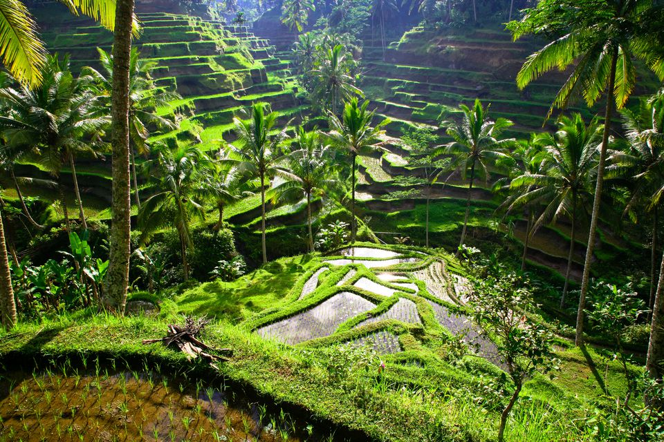 Bali, rice terraces of Tegallalang