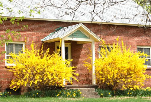 Yellow flowers such as forsythias and daffodils can make a foundation bed cheery.