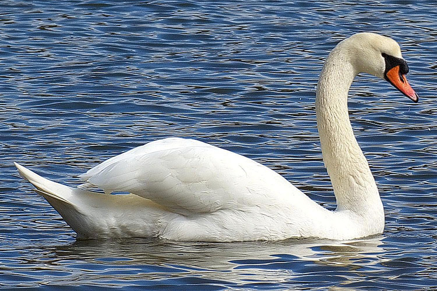 The Mute Swan S Habitat Migration And More