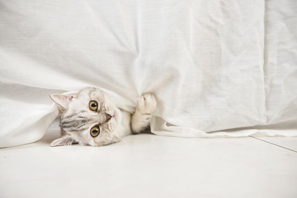 Cat peeping underneath tablecloth