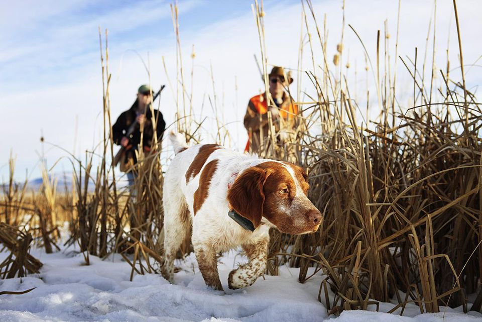 Hunting Dog With Two Hunters