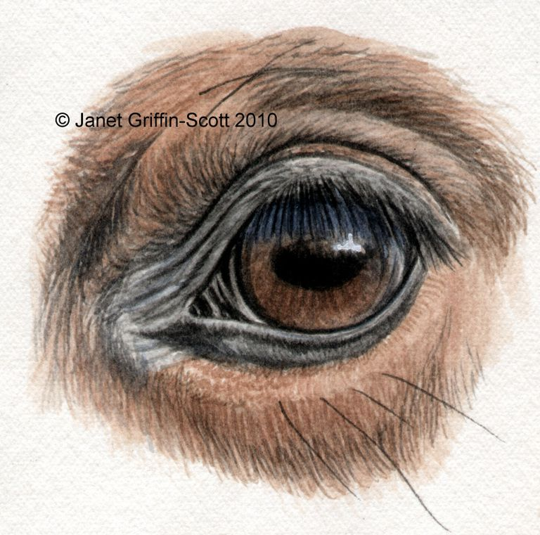 the finished horse eye drawing