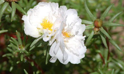 Portulaca picture. The plant in the picture has a white flower, but portulaca comes in many colors.