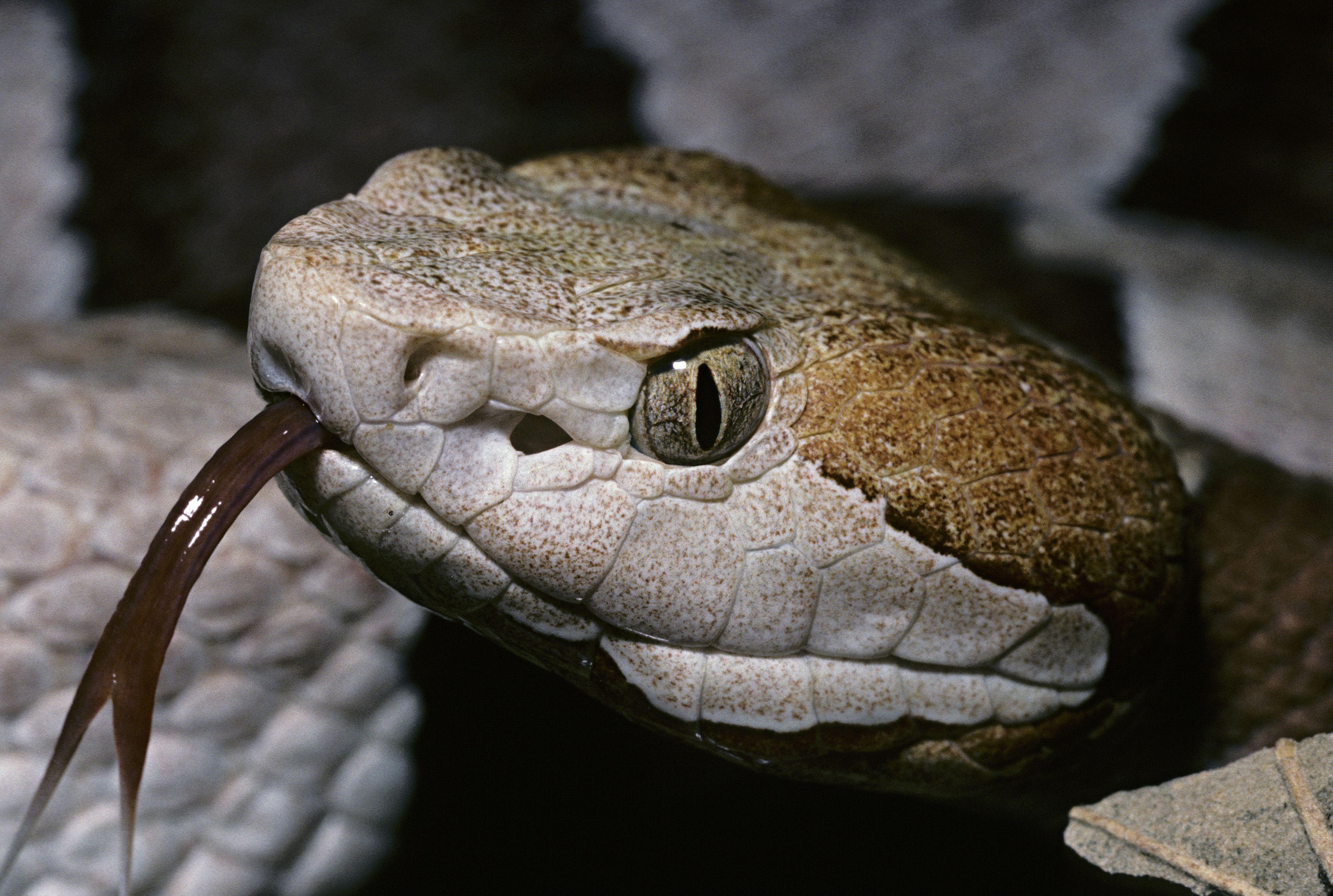arkansas u0027 six deadly venomous snakes