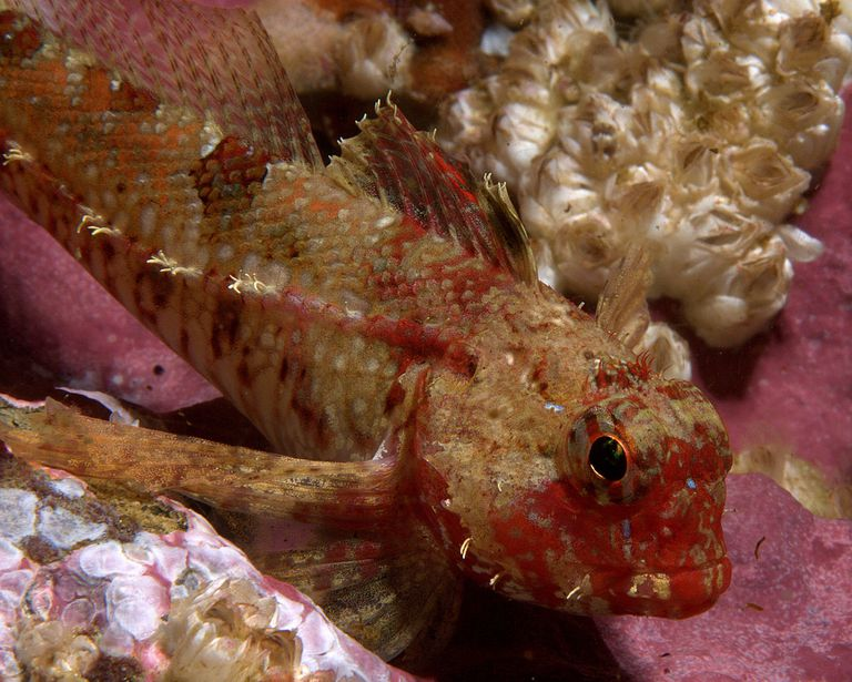Pacific Sculpin