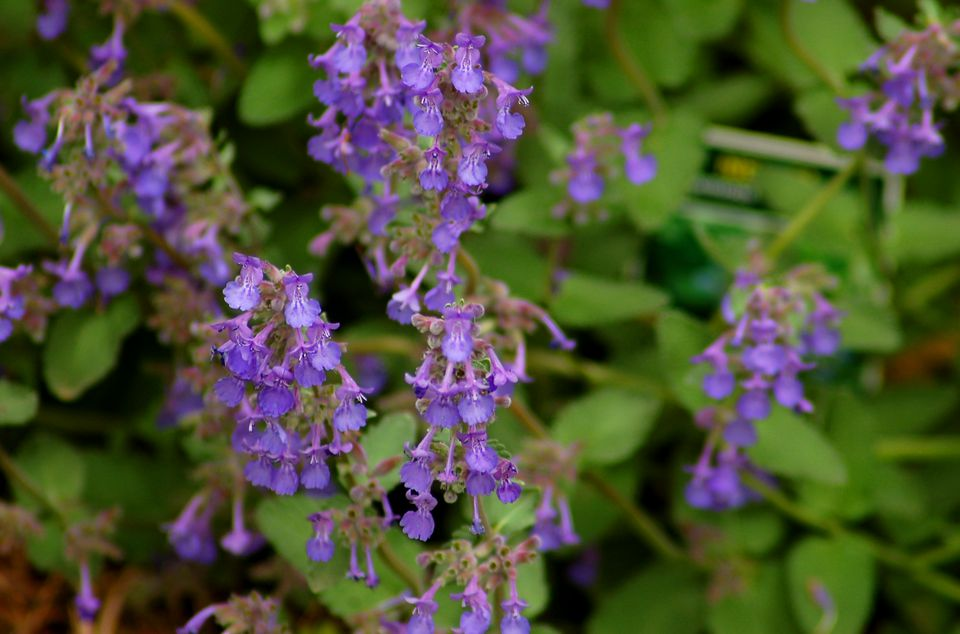 Little Titch catmint in bloom.