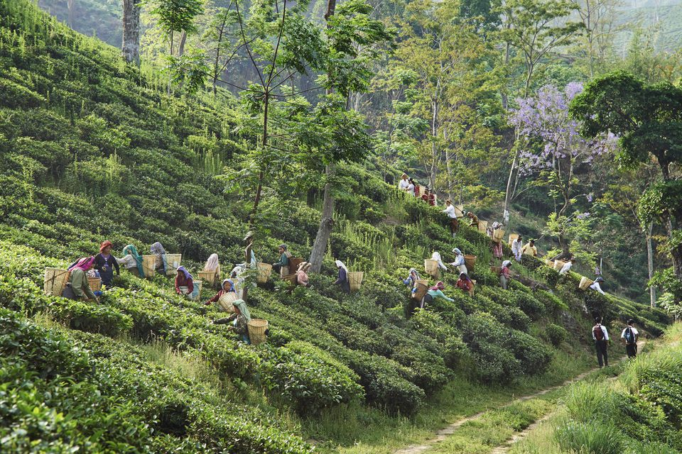 Workers harvesting tea leaves in the tea plantation of the Glenburn Tea Estates in Darjeeling