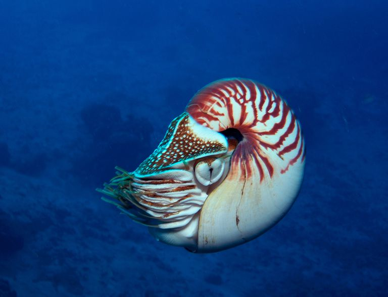 Chambered nautilus swimming