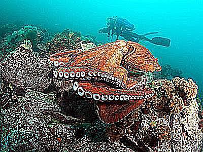 photo of a large red cotopus underwater with a scuba diver