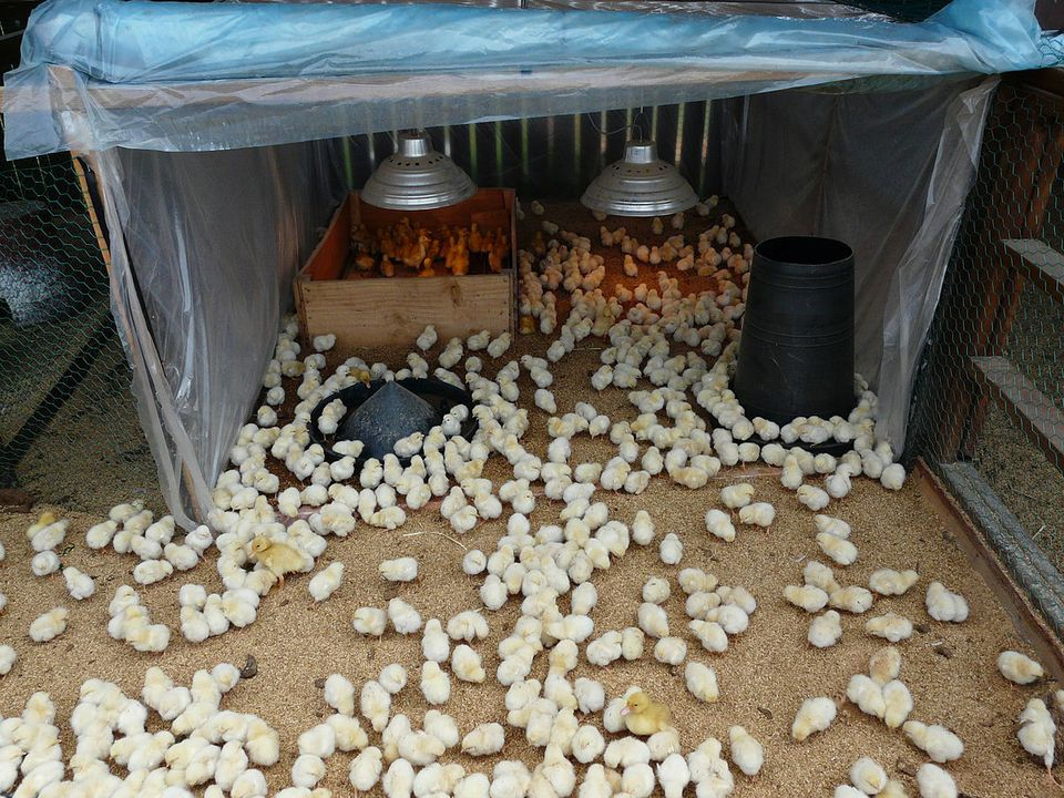 See What Supplies To Get To Properly Raise Baby Chicks