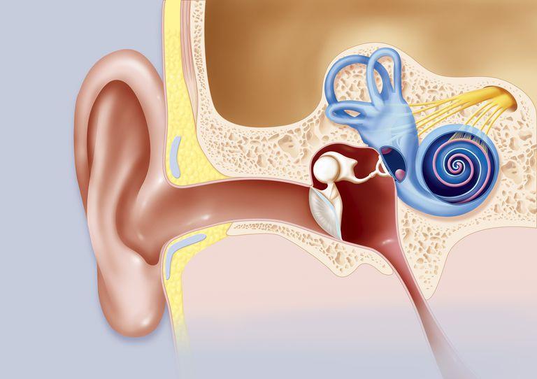 Ear, illustration