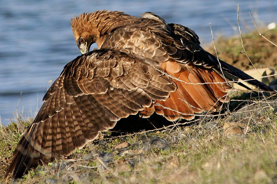 Red-Tailed Hawk Mantling Over Prey