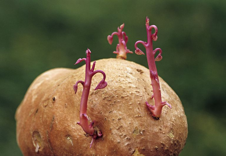 A sweet potato sprouting new plants.