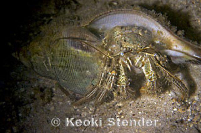 Green Striped Hermit Crab (Clibanarius vittatus)