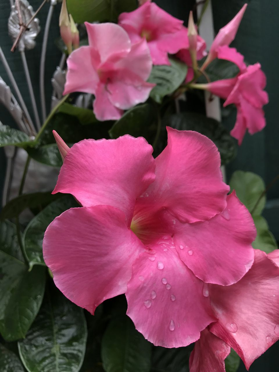 Growing Dipladenia And Mandevillas In Containers