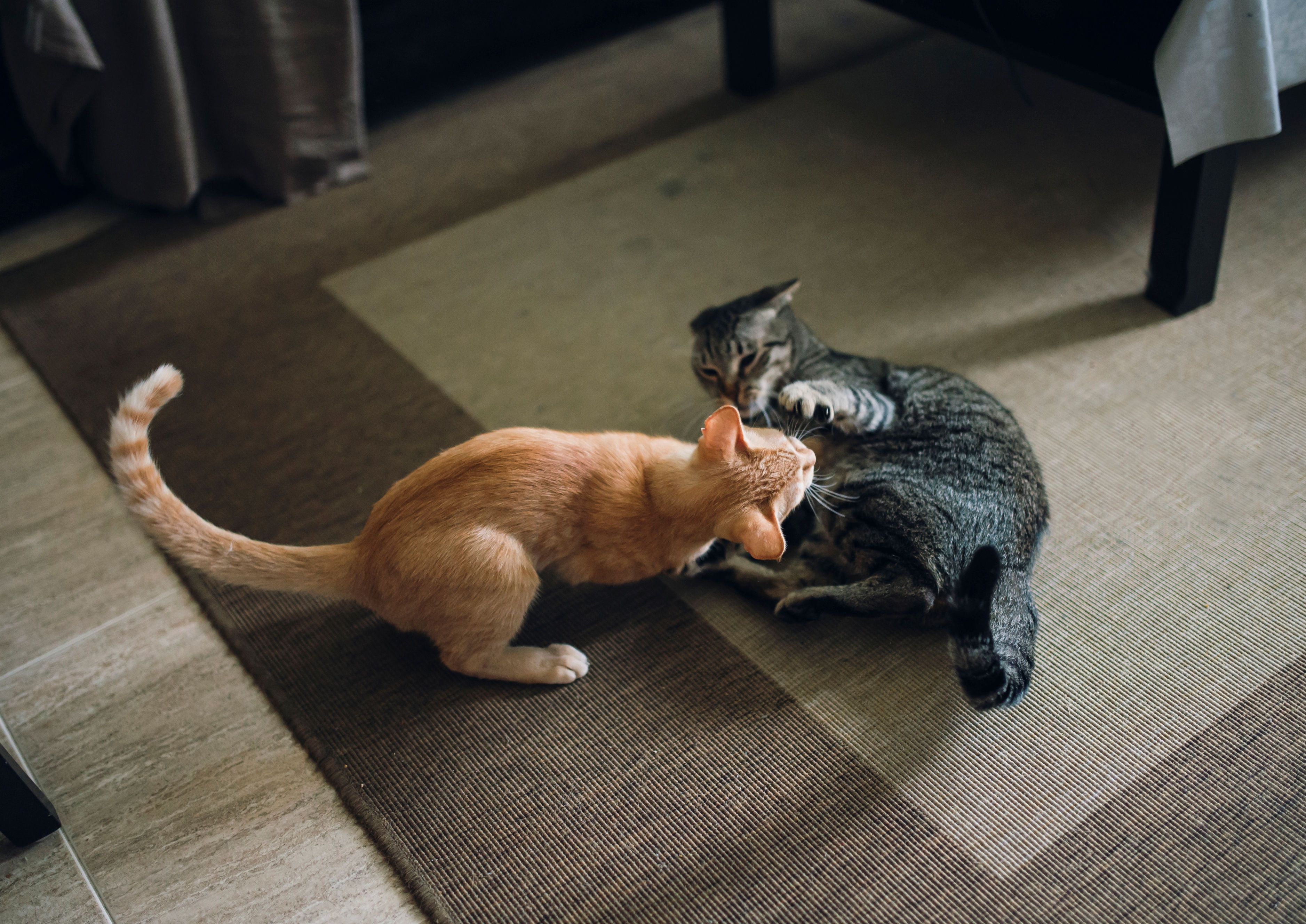 Mother Cat Aggression Calming the Protective Queen