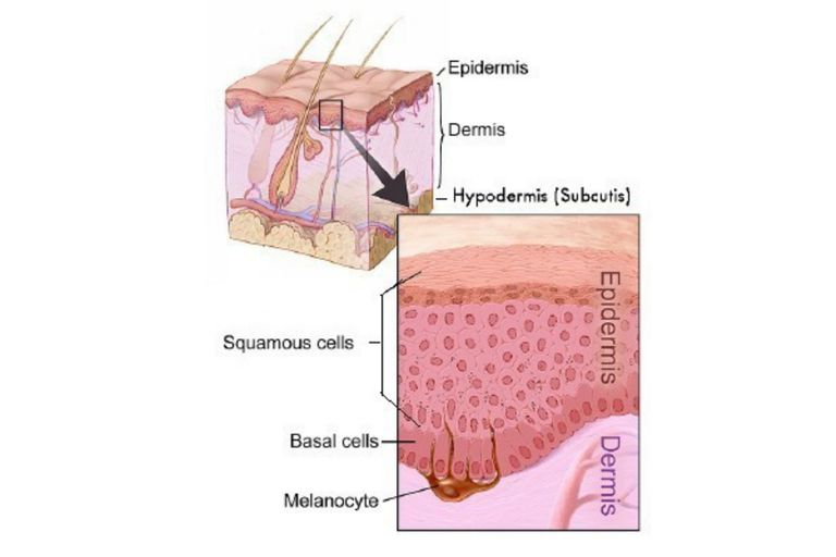 Epidermis Skin Layers
