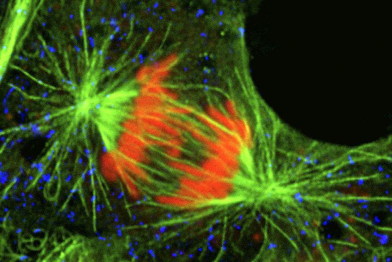Mitosis - Peroxisomes