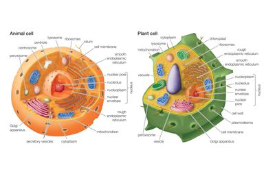 Learn about plant cell structures and organelles discover the key differences between animal and plant cells ccuart Images