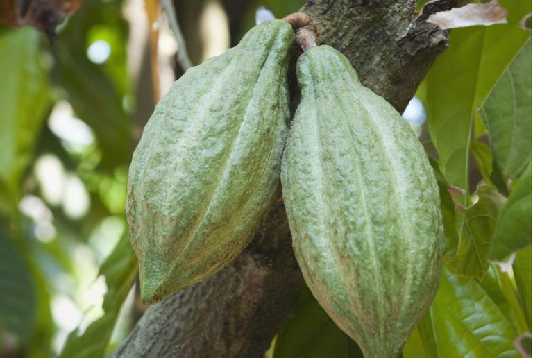 Close-up of cocoa pods on tree, Kochi, Kerala, India
