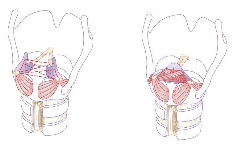 Cricoarytenoid and larynx area