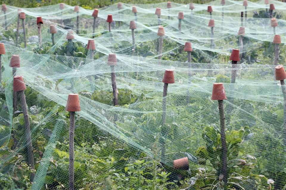 Organic Vegetable Patch with Garden Netting Protecting Vegetable Crop