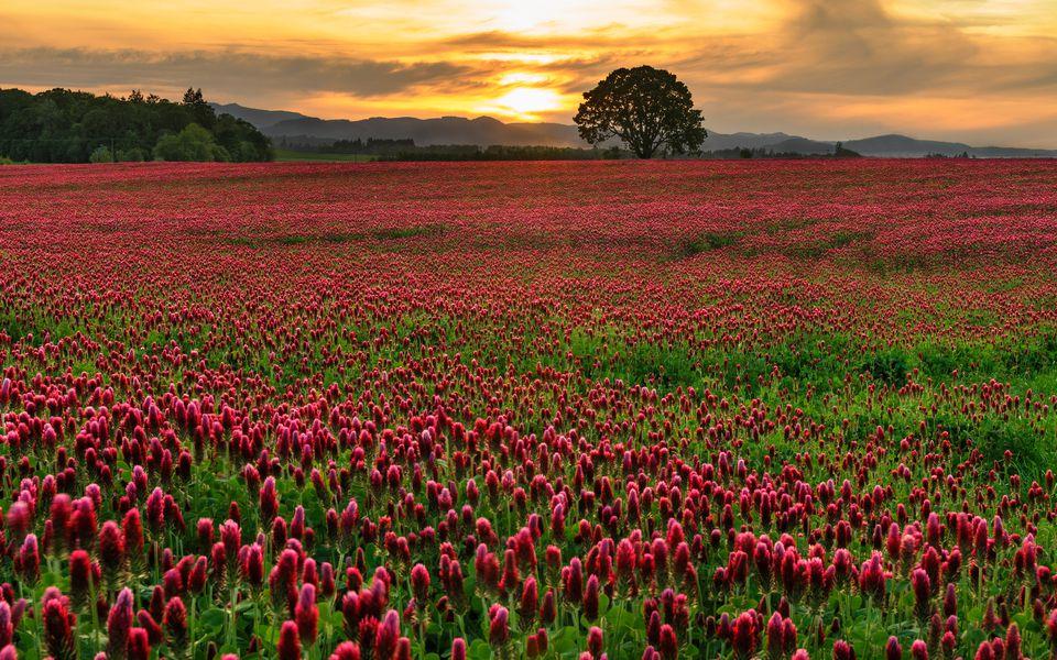 Field of crimson clover with lone oak