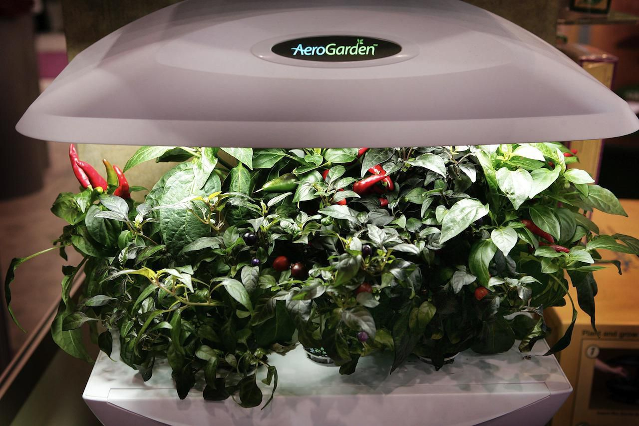 how to overwinter garden herbs indoors
