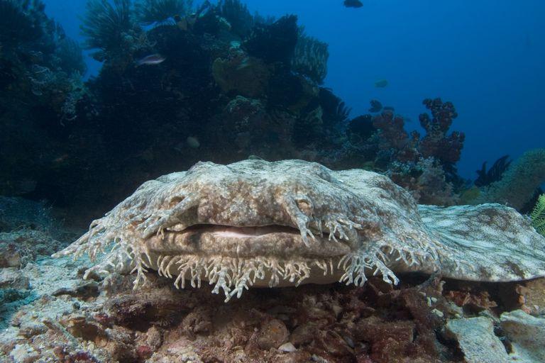 Tasseled wobbegong (eucrossorhinus dasypogon) sitting on a rock on the ocean floor, Indonesia / Dave Fleetham/Perspectives/Getty Images