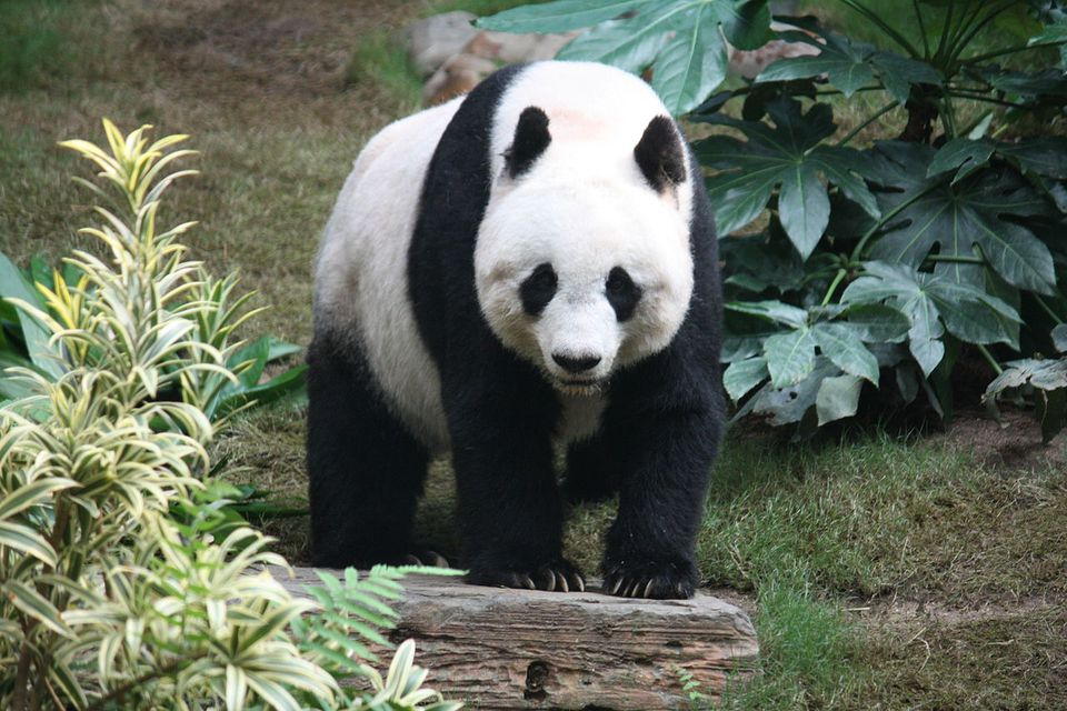 A Giant Panda at Ocean Park Hong Kong