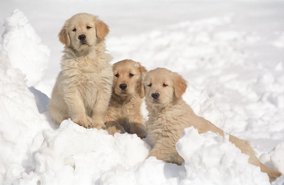 Three golden retirevers sitting on a snow bank