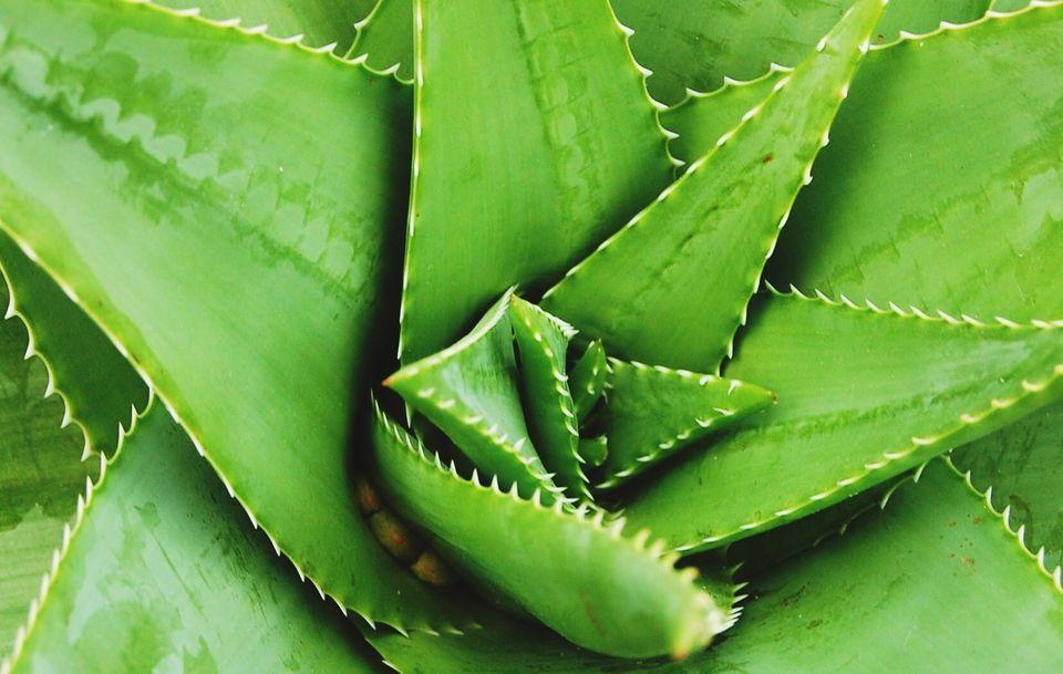 Aloe vera plant in closeup.
