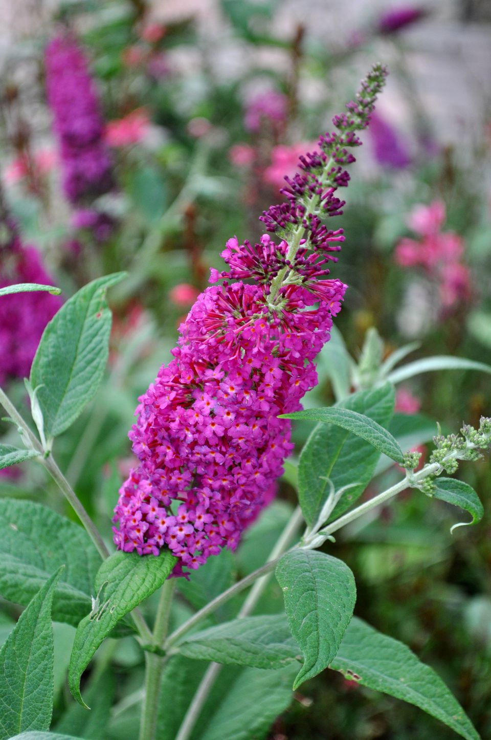 Miss Ruby butterfly bush variety