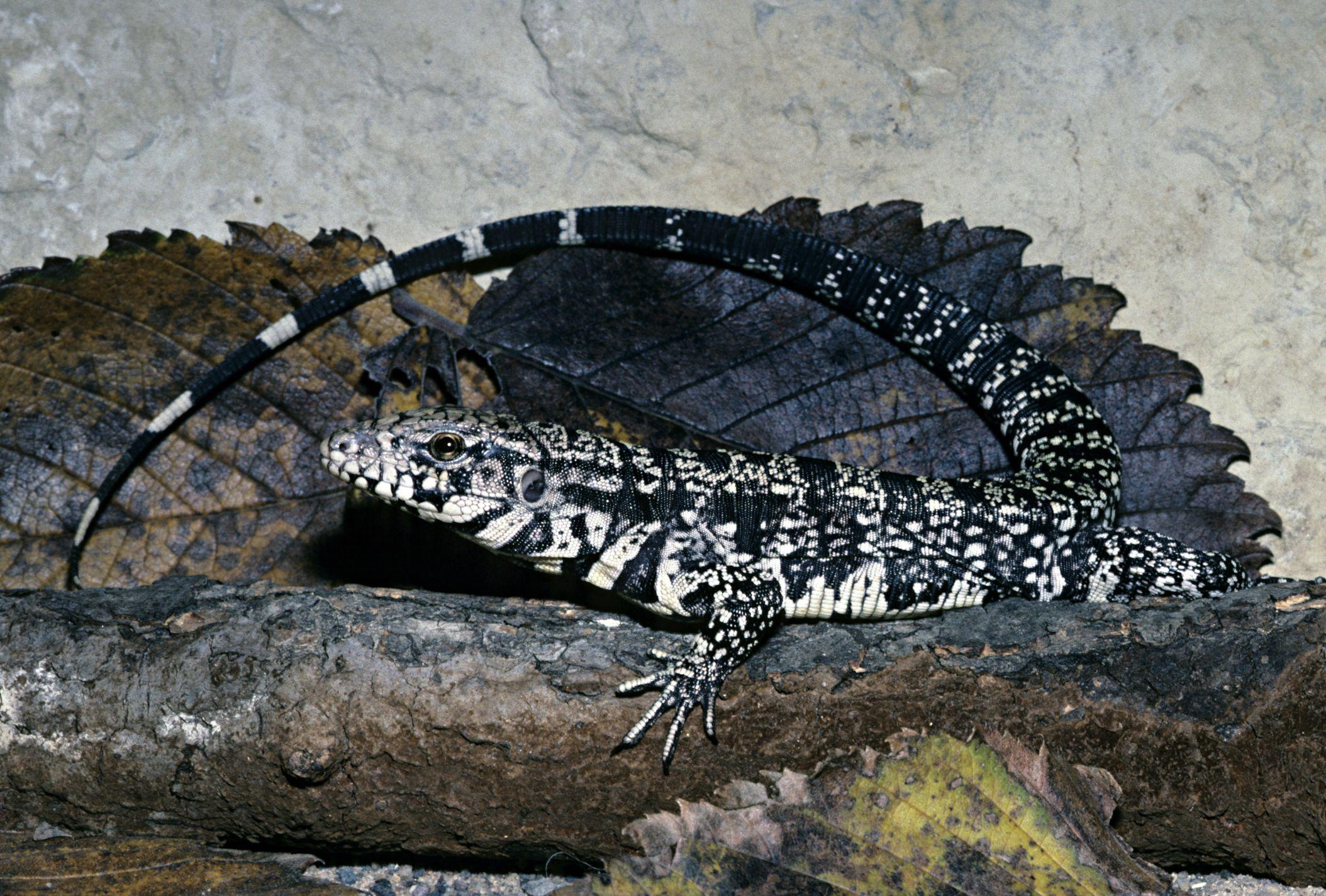 choosing a pet lizard and basic care