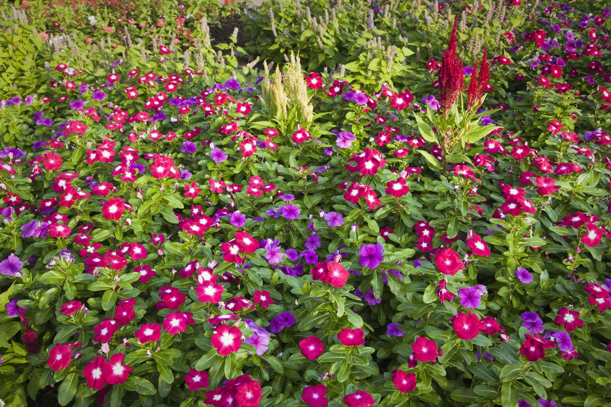 Annual vinca flowers the madagascar periwinkle izmirmasajfo Gallery