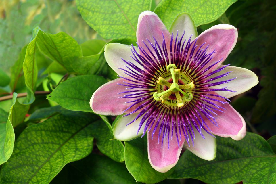 Purple passion flower and green leaves