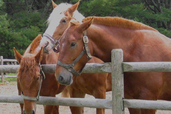 acadia-wildwoods-horses.jpg