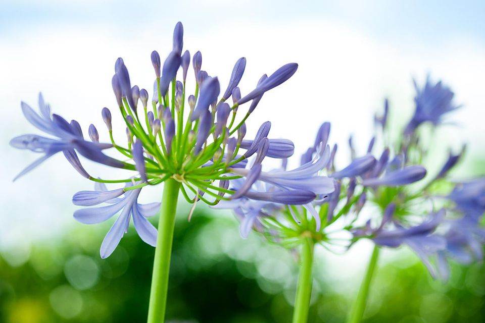 Beautiful blooming Agapanthus, 'Lily of the Nile' Flower Heads. Shallow depth of field.