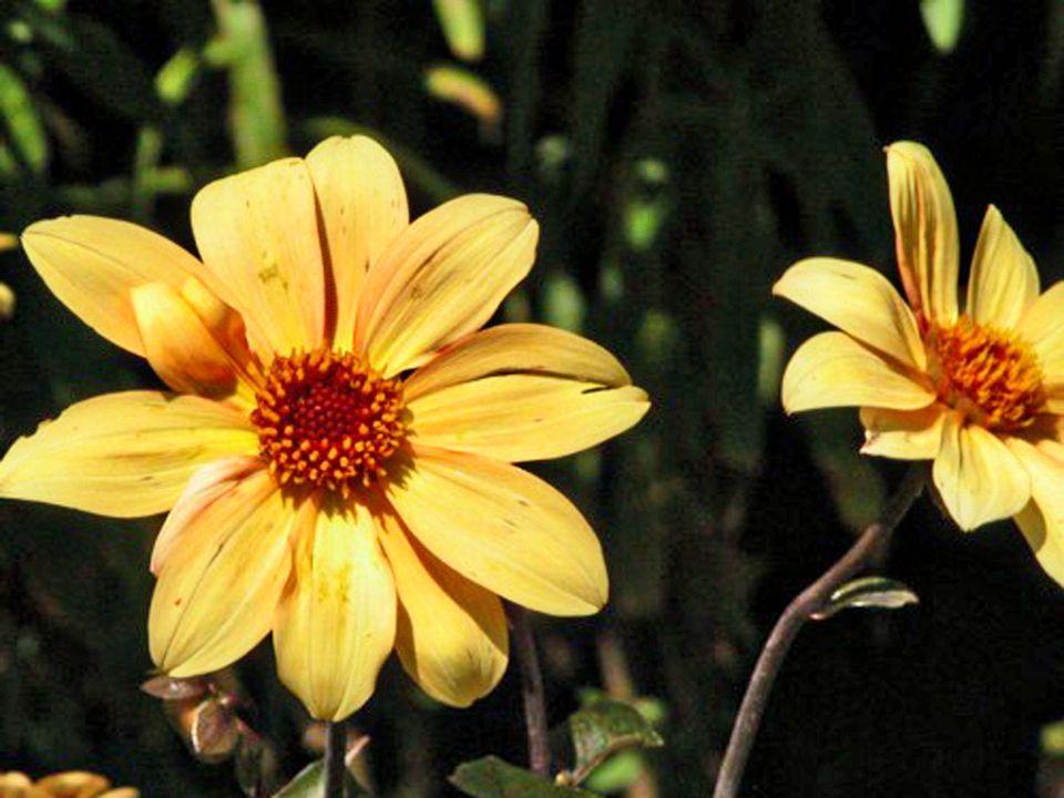 Coreopsis lanceolata - Lanceleaf Coreopsis