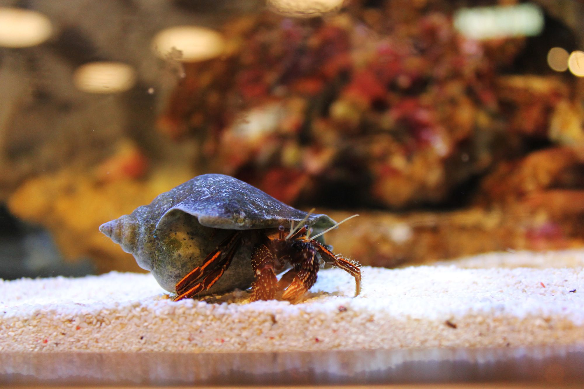 Hermit Crab Molt Find Out if Your Hermi...