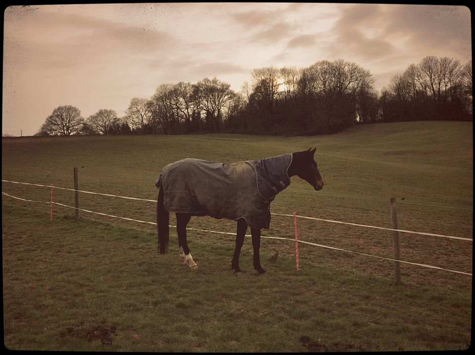 Horse standing in pasture wearing dirty turnout rug.