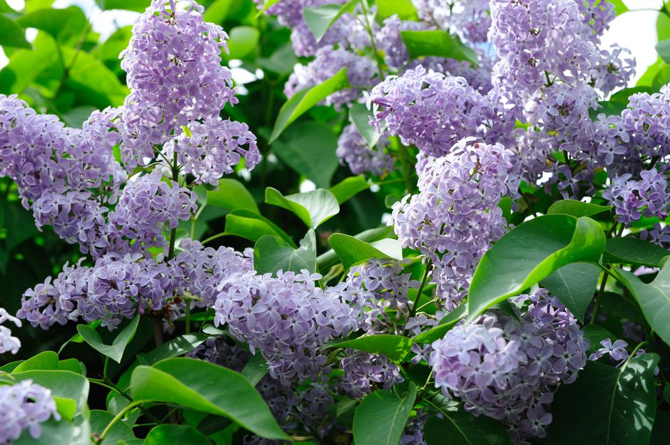 Best Shrubs With Blue Or Lavender Flowers
